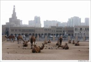 Доха. Катар. Верблюды в центре города