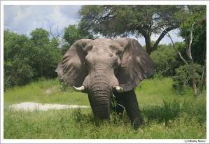 Слоны в это время очень опасны