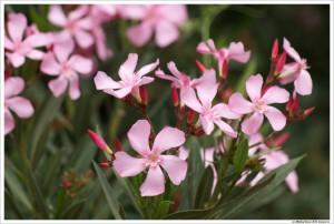 Цветы Атласских гор