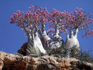 Пустынная роза. Остров Сокотра