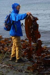 Сахалин. Сбор морской капусты